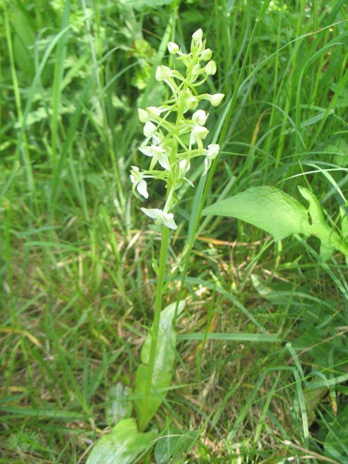 Plathanthera chlorantha ou Orchis verdâtre